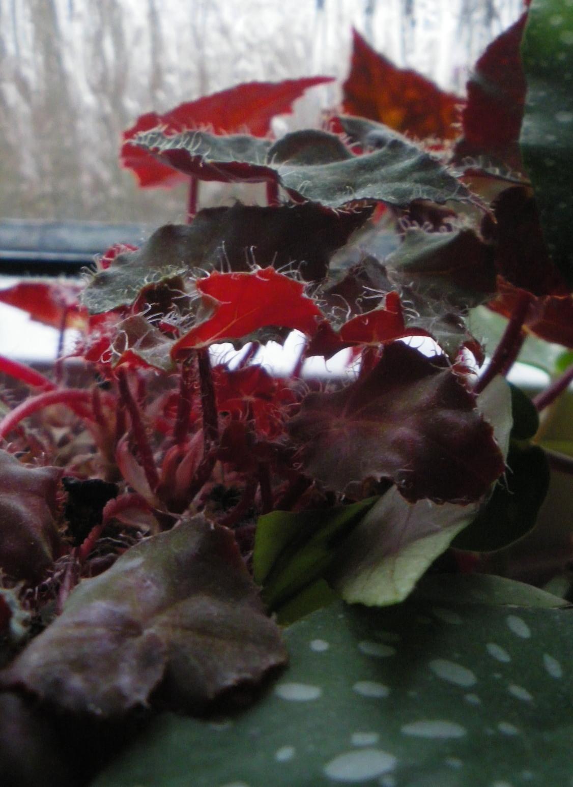 Begonia boweri rubra rhizombildende begonienforum for Gelbe leimtafeln