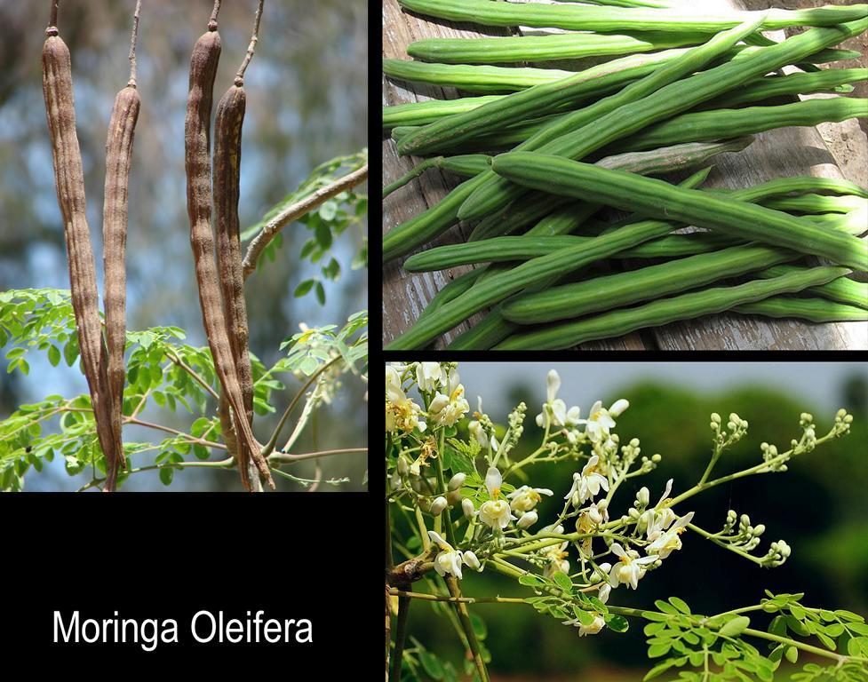moringa oleifera natur pur etwas ber die vielfalt der tropischen pflanzen im lande samana. Black Bedroom Furniture Sets. Home Design Ideas